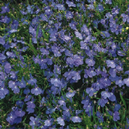 Lobelia erinus compacta Cambridge Blue 1500 seeds - 5000 seeds